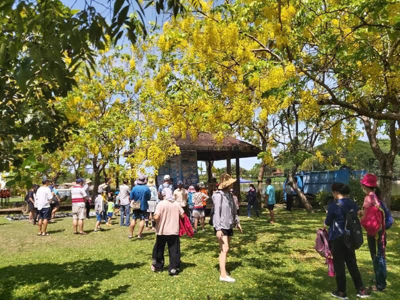 台南新化虎頭埤風景區今遊客超過3000人,園區阿勃勒大綻放,吸引遊客欣賞。圖/虎頭埤風景區提供