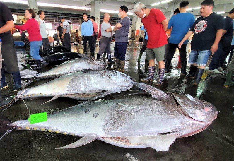 屏東東港漁港到今天已進2292尾黑鮪魚拍賣,較去年同期一口氣成長2倍多,不僅重回10年的2000尾大關,睽違已久黑鮪魚一字排開等候拍賣的壯觀場面再度重現。記者潘欣中/翻攝