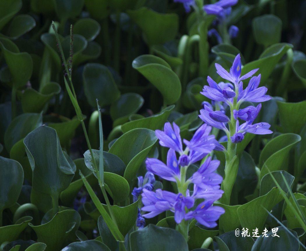 紫色的花朵隨風搖曳,這不是布袋蓮又叫鳳眼蘭嗎?還開這麼漂亮的花!