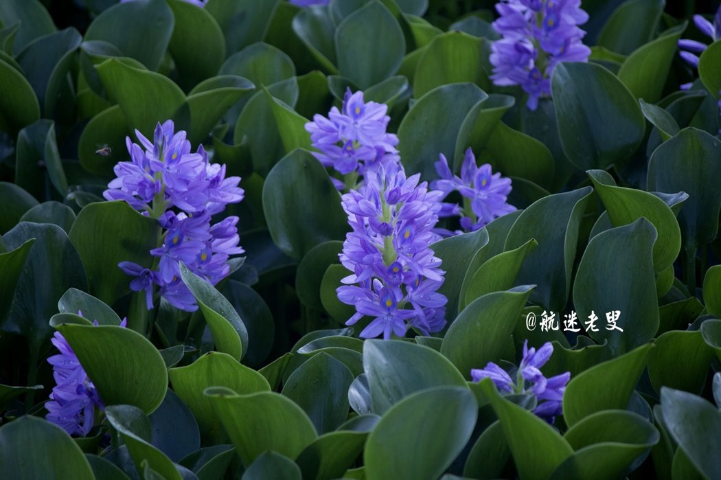 粉中透紫的花還這麼夢幻迷人,賞心悅目,駐足花前,有偷一株帶回家的種種看的念頭。