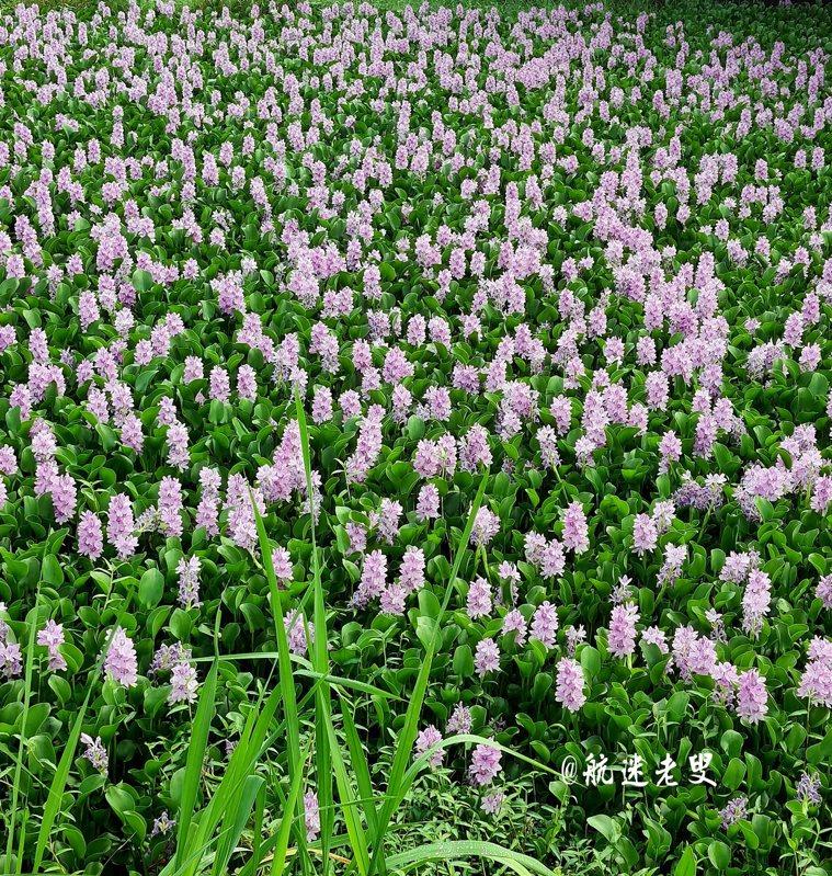 第一次看見自然生長在土裡的鳳眼蘭在一棟民宅的屋旁路邊, 也許是池塘濕潤的水汽給它提供了適宜的環境。