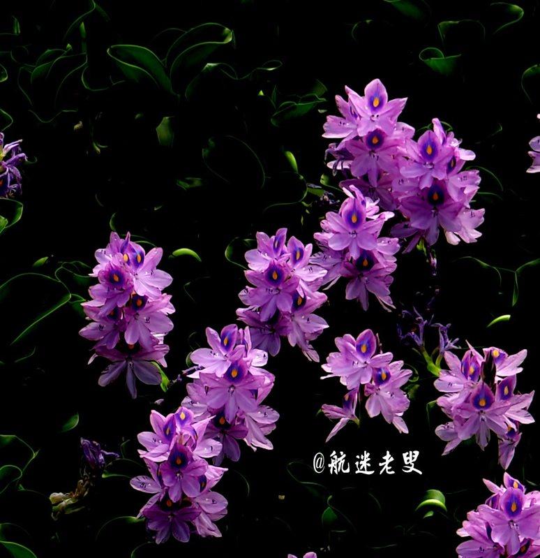 紫色的花瓣上的尚留有雨珠,亮亮晶晶一陣微風吹來,輕輕搖亭亭玉立,又顫顫悠悠,張顯著靈動。