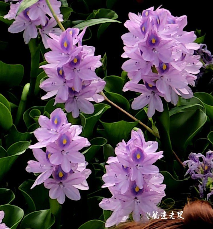 布袋蓮據說是一種生殖力強的水生植物,有水的地方隨便一丟,它就長出來了,而且長得繁茂強健,布袋蓮的開花時造型真是美。