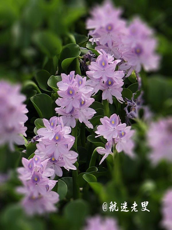 梅雨滋潤的花兒,美的亭亭玉立,高雅脫俗。那溫潤的花瓣,雖不濃郁卻也清新自然。