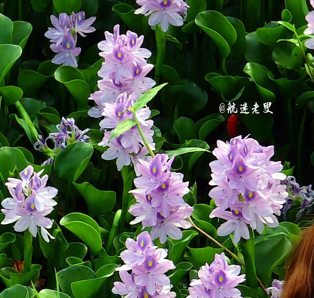 放眼望去一片的鳳眼藍花海映入眼簾,如此美景隨手一拍都可以成為朋友圈中最美的桌布,很容易在我們的大地生根開花,在農村在當地從未見過它開花。