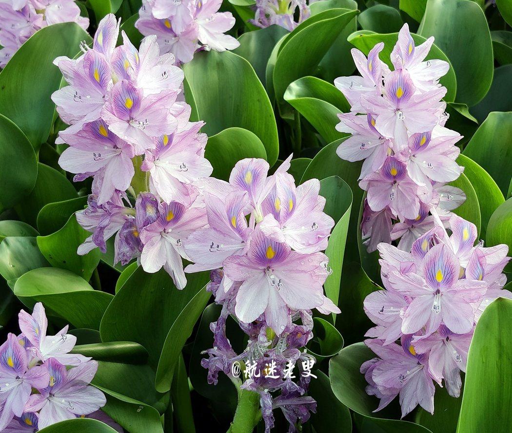 鳳眼蘭淡紫藍色,花冠兩側略微對稱,四周淡紫紅色,上方的花瓣較大,花瓣中間籃色,在藍色的中央有黃色圓斑,活像一隻鳳眼,甚是好看。