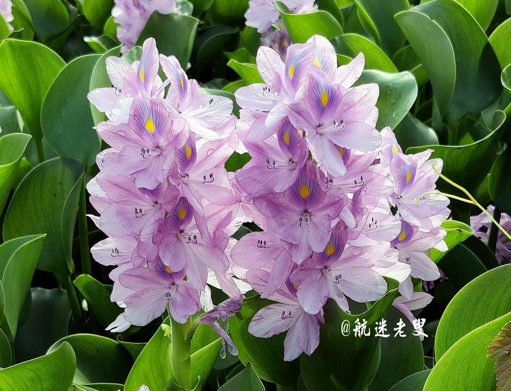 一花一世界,一人一如來;布袋蓮或鳳尾蘭,俗名也好,雅稱也罷,只要定時清理,花開綻放時可登上大雅之堂,受愛花及喜愛攝影人士的喜愛,植物如此,人亦然!