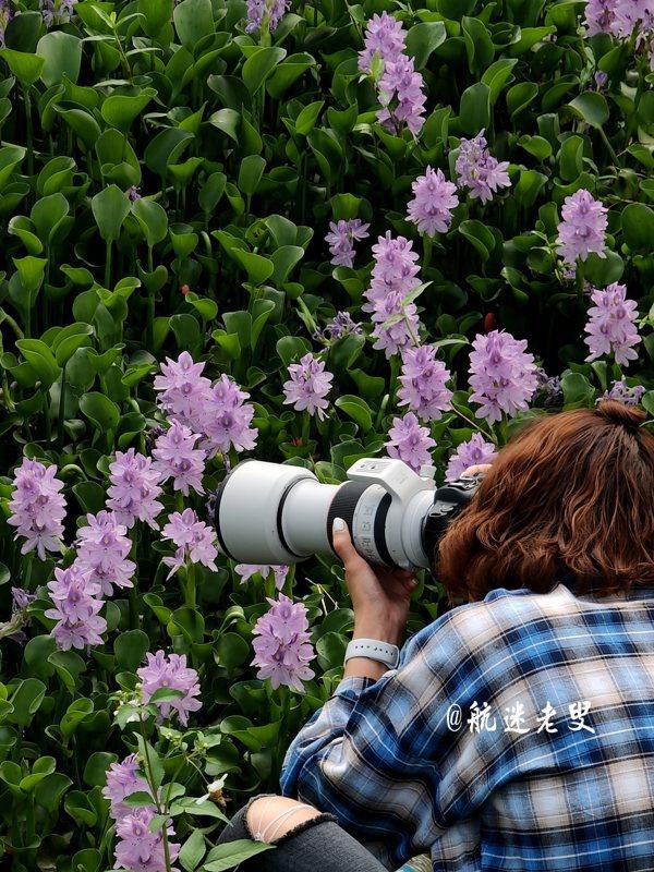 夏天賞荷正當時,攝影者鏡頭下的照片,是否讓你心動? 夏天,正悄悄地來到我們的身旁,你是否已經感受到夏天的高溫和熱情,其實,夏天,除了荷花外還有鳳眼藍也是大家可及時去欣賞的。