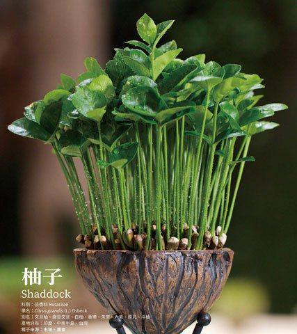 種子盆栽—由柚子種子種植而成。 (圖/領飛無限文創出版提供)