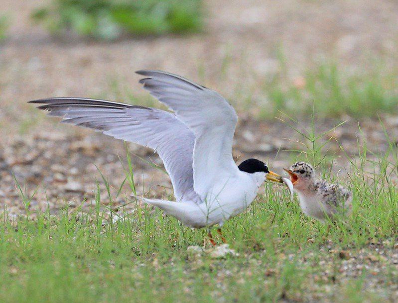 南方保育類小燕鷗首度在桃園市許厝港濕地產下歷年來第1胎,小燕鷗親鳥餵食鏡頭令鳥友振奮。圖/徐增清提供