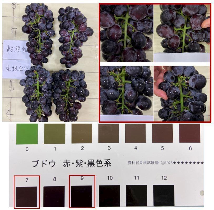 施用生技金旺葡萄轉色均勻,果色值達9(對照組為7),且果梗生長更加粗壯鮮綠  台...
