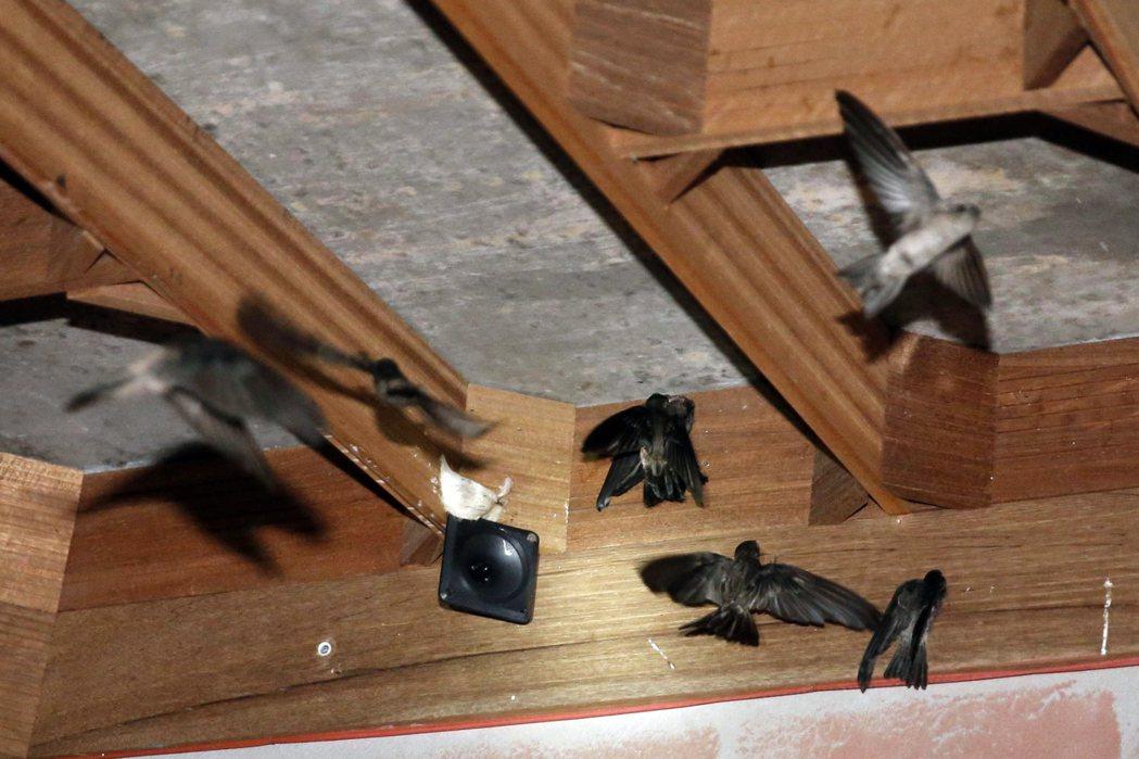 燕窩的生產方式大略分為兩種:山洞壁上野生的燕子,稱為洞燕,與在屋簷下築巢的燕子,稱為屋燕。 圖/路透社