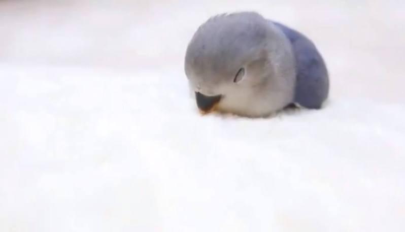 日本有網友在Twitter分享鸚鵡的可愛睡相。(Twitter帳號「lmlm_chan」圖片)