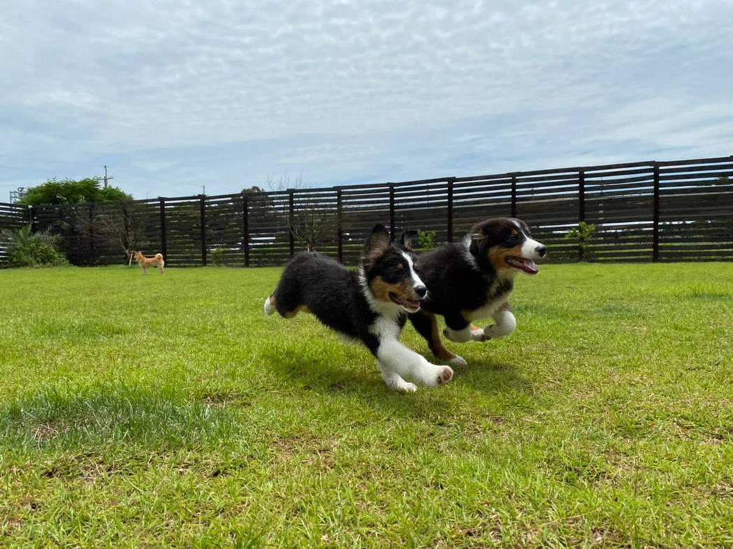 邵庭的新寵澳洲牧羊犬大吉大利。圖/邵庭提供