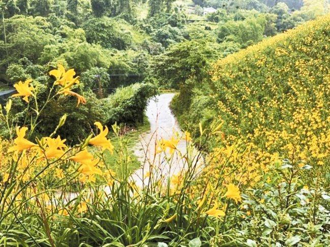 距台東知本老爺10分鐘路程的天山農場,現在有滿山盛開的金針花。 圖/陳志光、游慧...