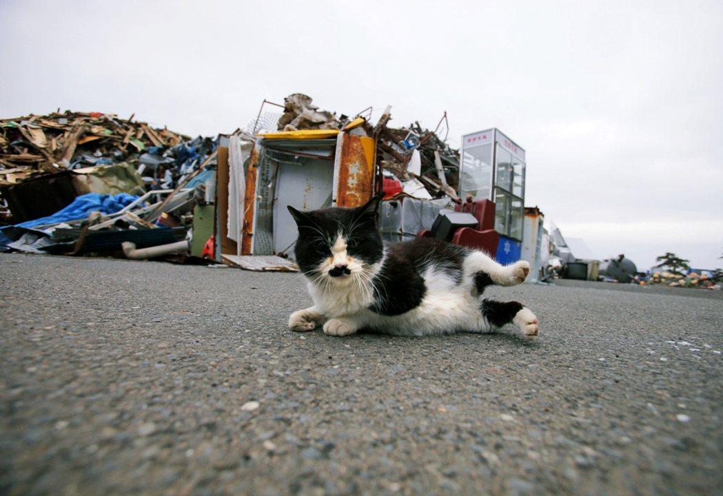 2012年,宮城縣知名「貓島」田代島上,在311大地震殘骸前的貓。 圖/美聯社