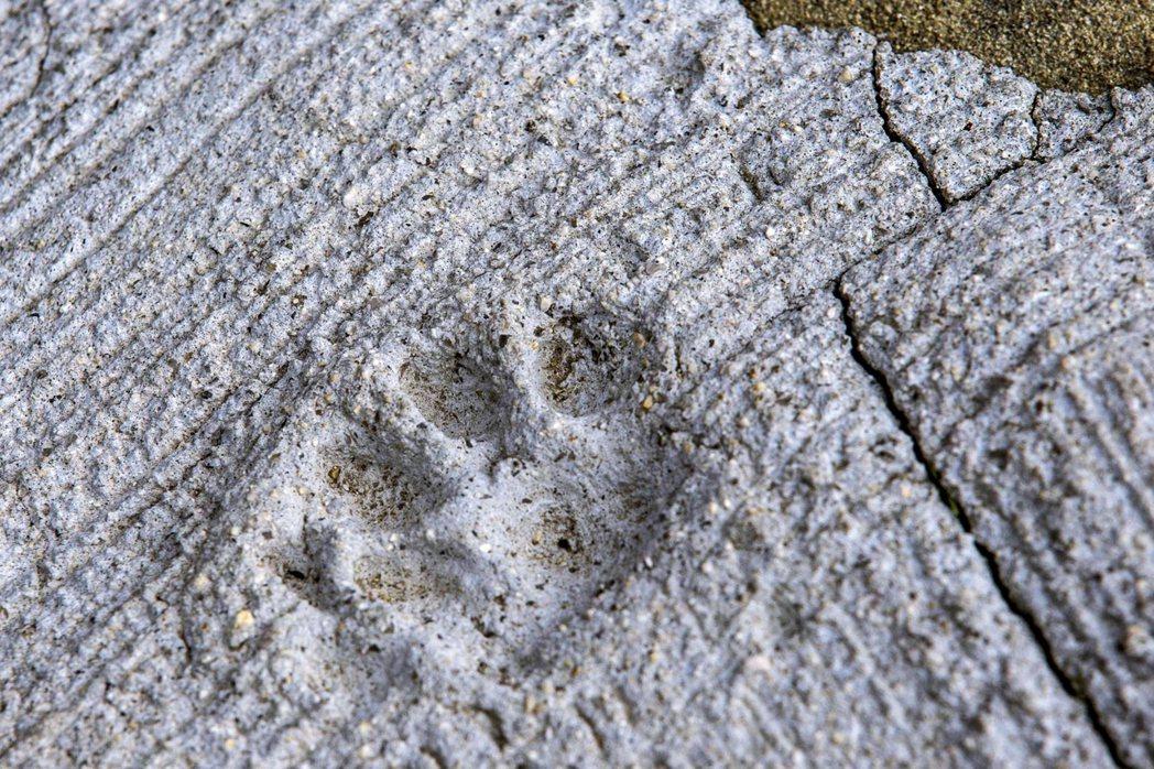 青島街道上的貓腳印。 圖/路透社
