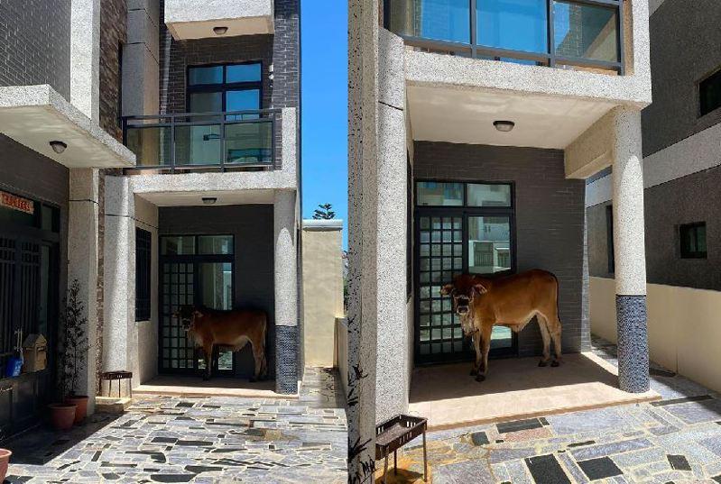 澎湖天氣炎熱,黃牛跑到別人家門口遮陽。圖擷自facebook