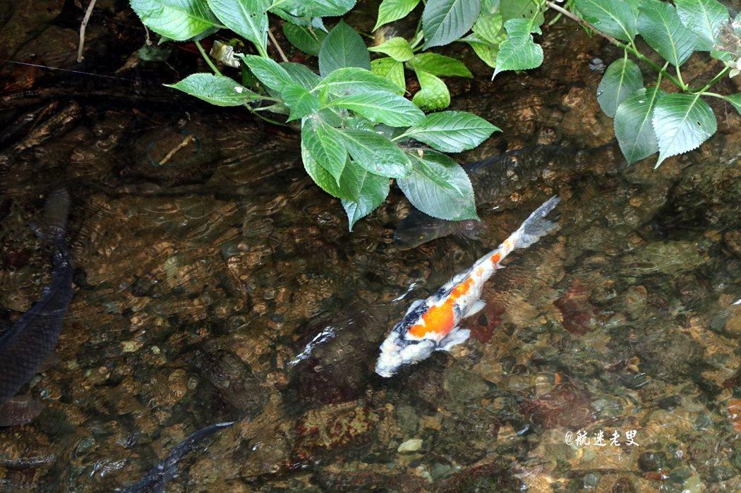 經過一條小溪,溪水清清, 溪水中錦鯉悠閒的游著。