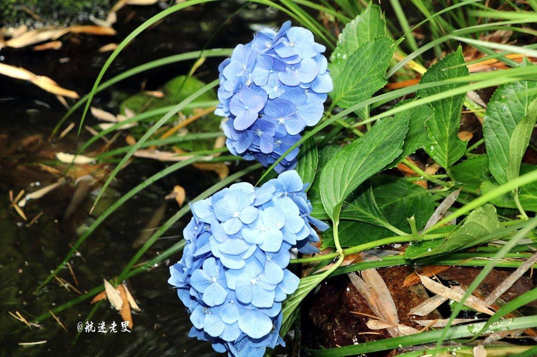 此時東京是繡球花盛開的時候, 觸目所及盡是被繡球花所包圍。