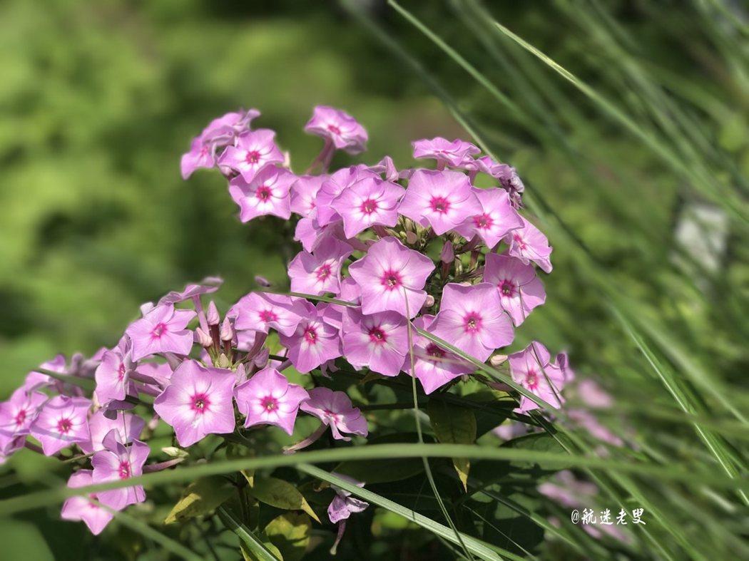 嬌小玲瓏的粉紅色彩的小花, 色彩如夢似幻,惹人憐愛, 微風徐來,風姿嫣然。