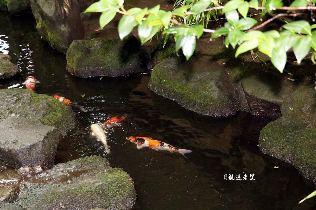 錦鯉線條優美遊著,美麗的魚尾輕輕搖擺,不僅是觀賞,又讓人不禁多了幾分欣賞吧。
