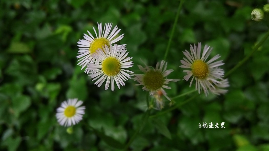野菊花,清幽淡雅, 花型嬌小可愛,顏色也鮮艷。