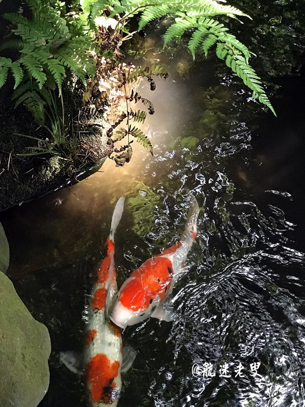 人造小溪和池塘交錯,觸目的錦鯉悠哉的遊動, 四週都被綠意填滿。