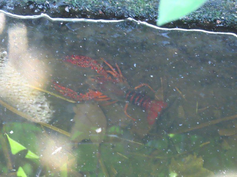 龜吼水溝成螯蝦天堂。圖/陳信助提供