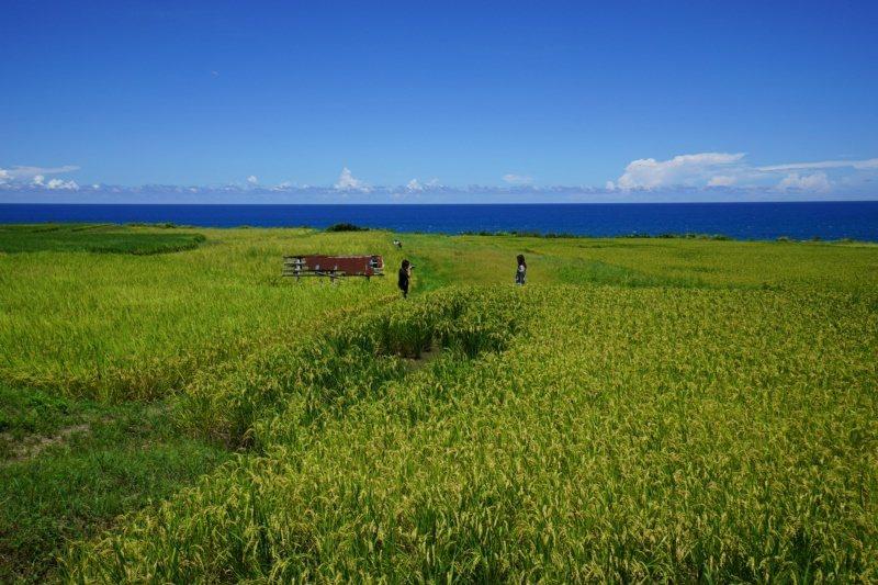 花蓮縣豐濱鄉新社村的梯田,就種在太平洋畔,稻浪映著海景份外迷人。 圖/王燕華 攝...