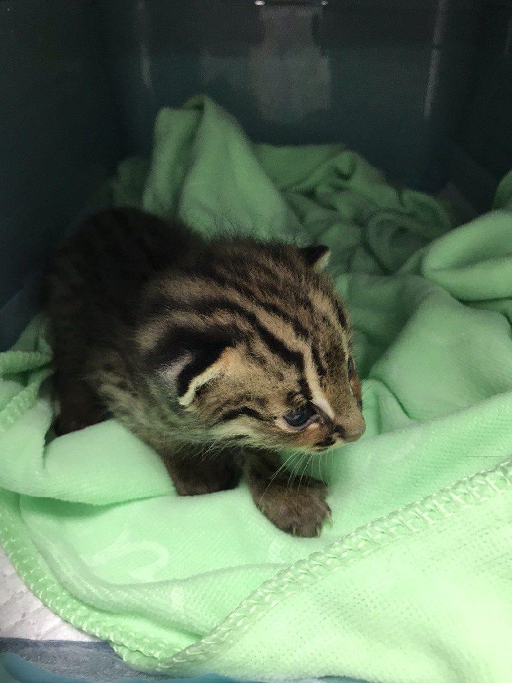 一隻出生僅約2周的雄性小石虎昨晚9點多在苗栗縣通霄鎮被巡田的農民發現。圖/苗栗縣...