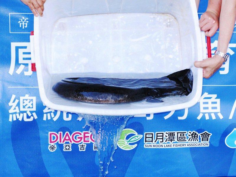 一條價值5萬元,重達20斤的台灣原生種大尾鱸鰻,昨天被命名為「剋星」,昨天也被放流入日月潭。記者黑中亮/攝影