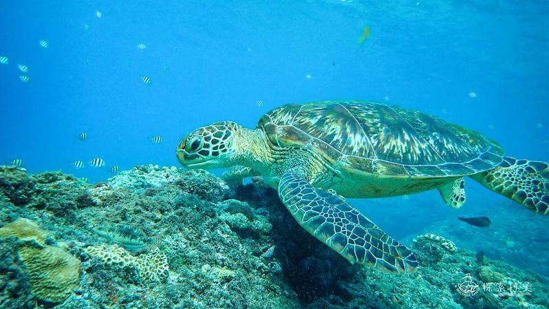 ▲暑假親子旅遊活動推薦-小琉球海龜。(圖/Tripbaa趣吧!達人帶路)