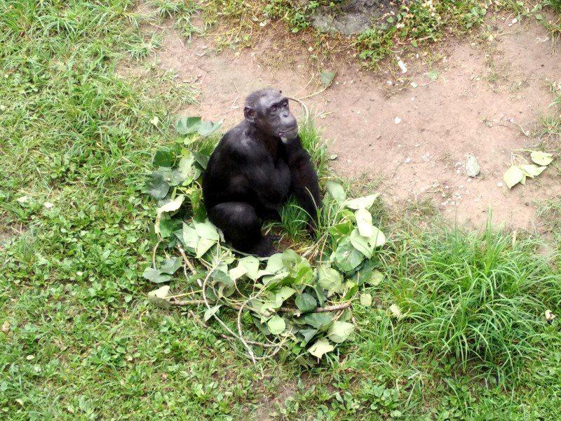 聰明的黑猩猩用修剪下來的枝葉,為自己舖了一個舒服的坐墊。圖/台北市立動物園提供