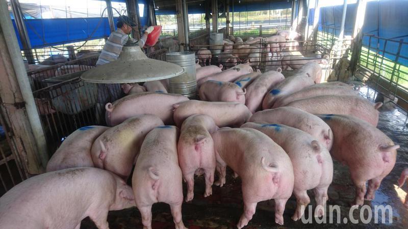 台灣養豬業還有一般豬瘟除名要努力。圖/張清龍提供