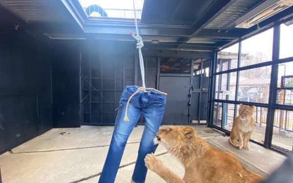 獅子破壞的牛仔褲。圖擷自campfire@ノースサファリサッポロ