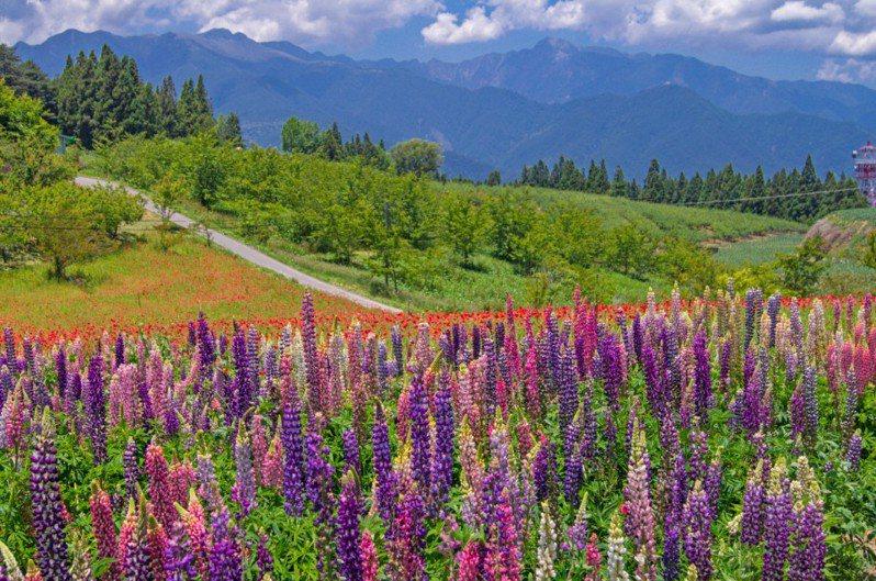 福壽山農場四季花海皆美,魯冰花五六月盛開,或紅或紫,美麗極了。(圖片提供/福壽山農場)