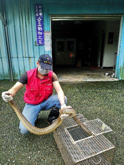 一條長2.3公尺的南蛇闖入新北市金山民宅,腹部如成人手臂粗,動保員捕回檢查健康無虞,帶往山林原始棲地野放。圖/新北市動保處提供