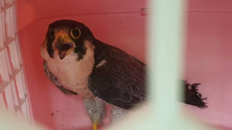 一隻約1歲大的保育類猛禽「遊隼」因誤觸鳥網受傷,照料後復原情況良好,模樣相當可愛。圖/主辦單位提供