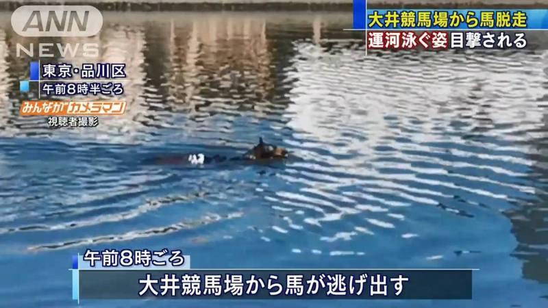 東京有民眾在運河附近發現一匹馬在游泳,仔細一看發現是來自馬場的賽馬。圖/ANN