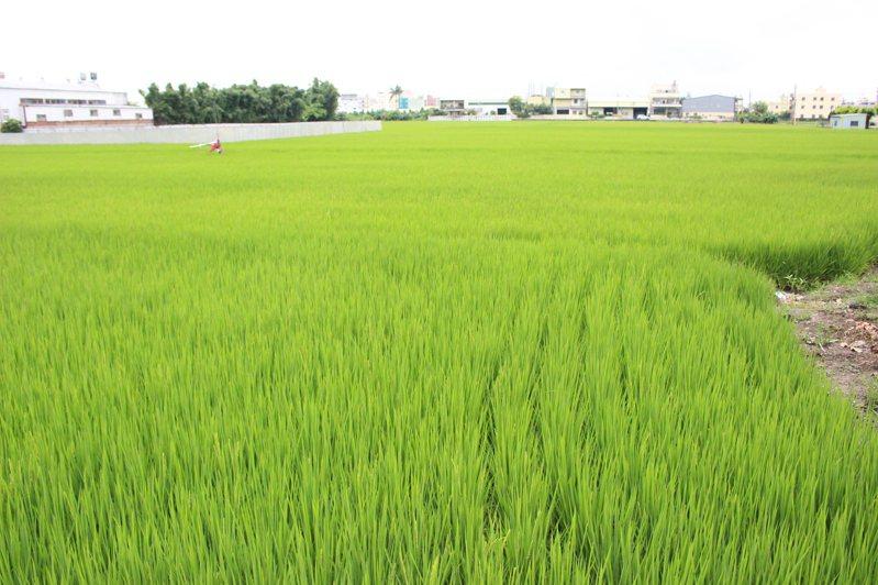 彰化陸續解除列管的汙染農地,和美鎮多處整治農地已復耕。記者林敬家/攝影