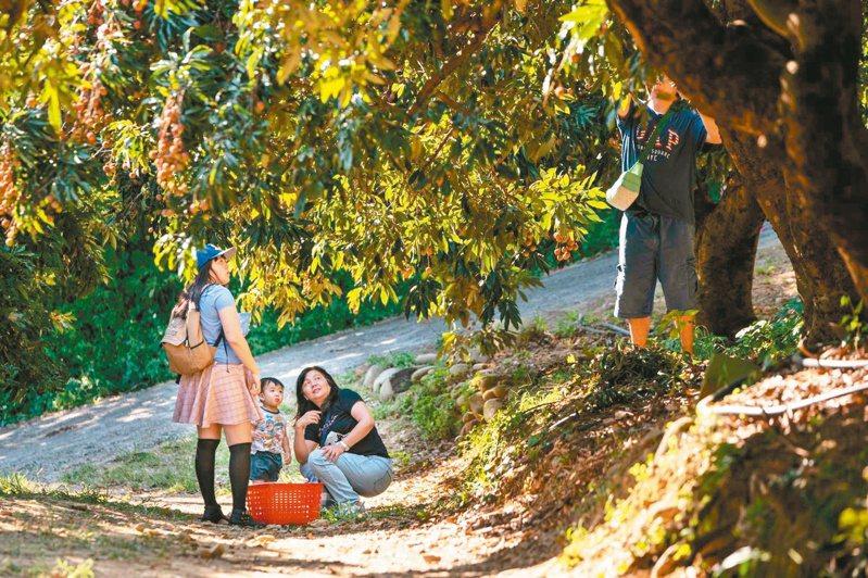 新竹市政府荔枝節開跑,歡迎來採果。圖/市府提供