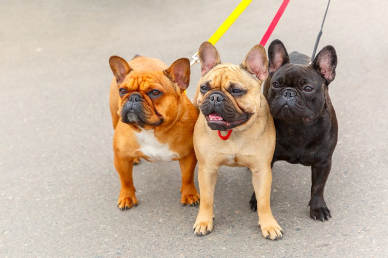 法國鬥牛犬是不少民眾喜愛的犬種,不過由於法鬥的鼻子較短、皮膚較敏感,飼養起來也較難照顧。圖片來源/ingimage