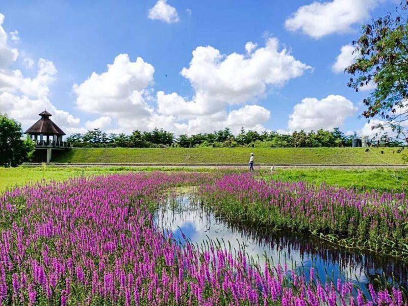 千屈菜花期偏長,整個夏天都能賞見這片紫色風景。圖/IG@heapin963授權