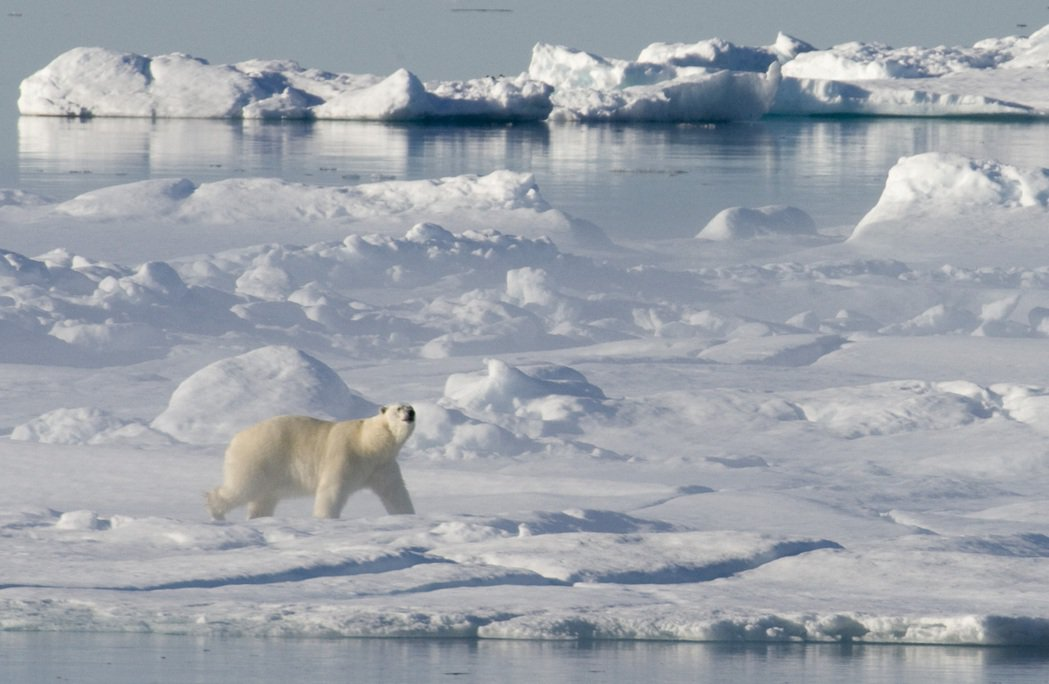 西伯利亞與北極圈正經歷詭異不尋常的初夏。圖為加拿大的北極熊,示意圖。 圖/美聯社