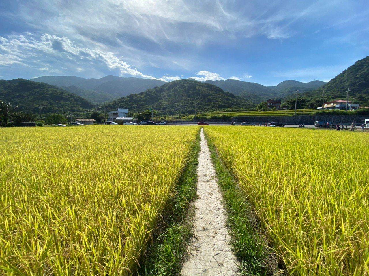 花蓮豐濱鄉路邊有金黃稻田,只要不破壞稻穀,就可欣賞青山相襯的稻浪。 圖/王思慧 ...