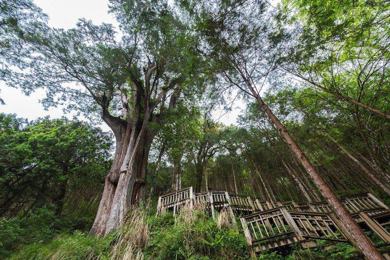 走進森林觀賞神木,更能感覺自然的偉大和神奇。