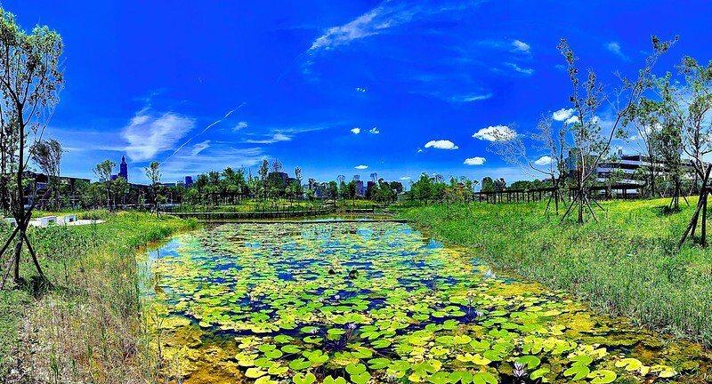 園區中央濕地水池,睡蓮花開了。