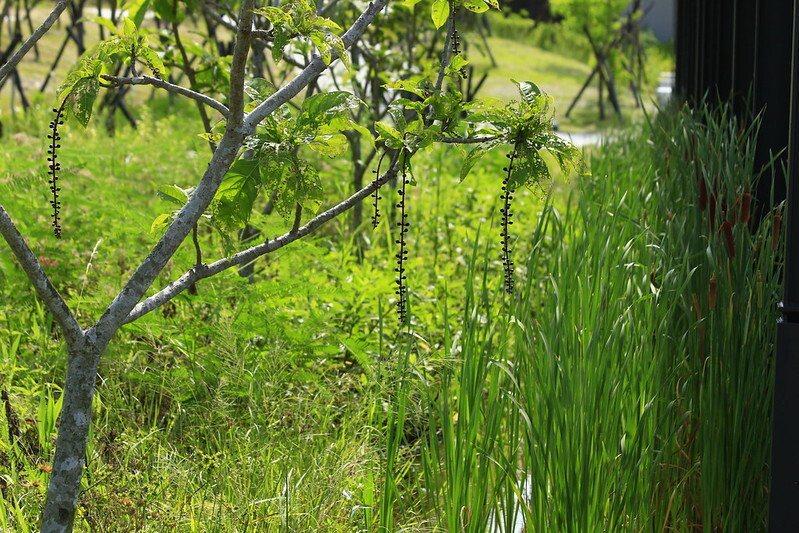 滿樹小花包的穗花棋盤腳,看來距離花開不遠了。