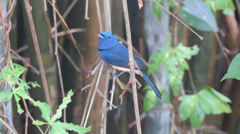 黑枕藍鶲鶵鳥及巢被偷,悲情親鳥仍在枝頭守候。記者范榮達/攝影